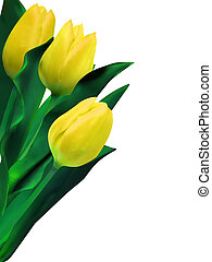 Yellow tulips against white background. EPS 8