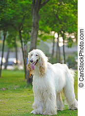 Afghan hound dog - White afghan hound dog standing on the...