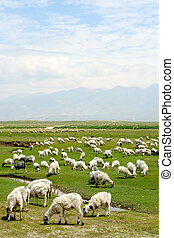 Goats in grassland - Goats grazing in the grassland in...