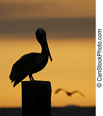 Brown Pelican, Pelecanus occidentalis, sitting on wooden...