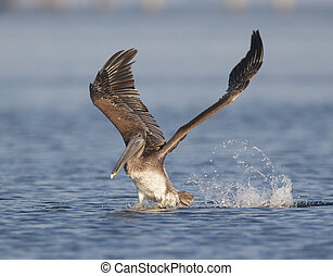 Brown Pelican, Pelecanus occidentalis, taking off from blue...