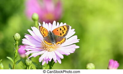 Butterfly - butterfly on asteraceae