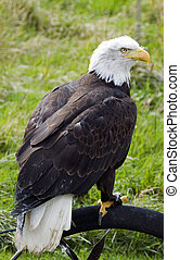 sea eagle on a bird show with blur background