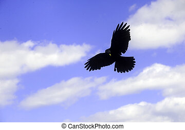 raven flying over the mountains of the Dolomites