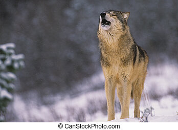 Wolf Howling in Snow - a grey wolf howling during a...