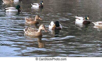Ducks in pond  - Ducks in pond
