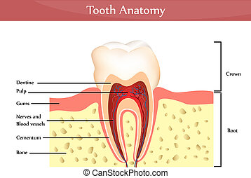 Tooth anatomy - Detailed tooth anatomy. Harmonic colors