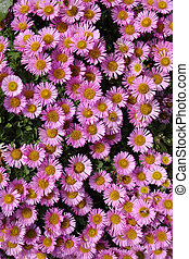 Colorful pink Aster Alpinus flowers.