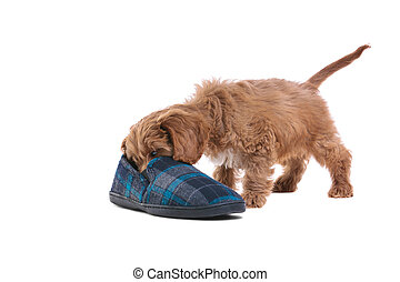 Puppy playing with slipper - Photo of an 11 week old male...