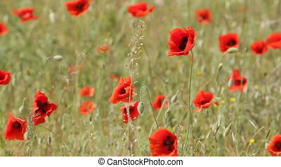 red poppies on the field - red poppies on the field swaying...