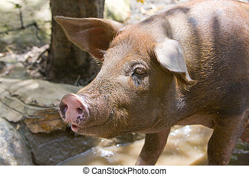 The big  pig lies in a puddle