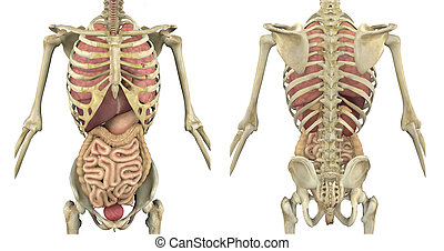 Torso Skeleton with Internal Organs - Front and Back - Male...