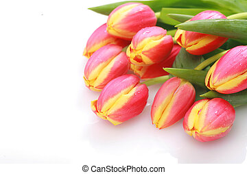 Tulips isolated on a white and background