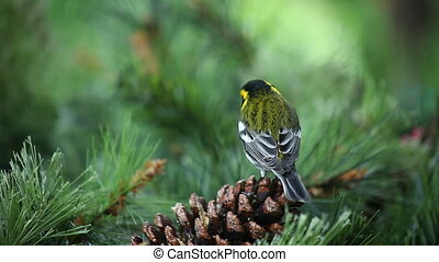 yellow bird on pinecone - a Townsends warbler eats from a...