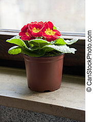 Red flower in the pot on a window sill