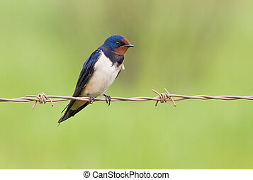 Barnswallow sitting on a barbwire with soft green background