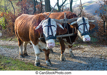 Pair of oxen with halter yoked together ready to pull a...