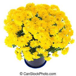 yellow chrysanthemum in flowerpot - Beautiful yellow...