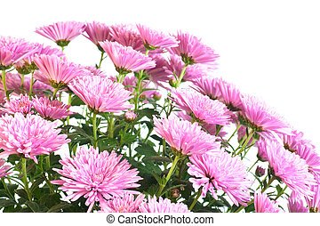 chrysanthemum - Beautiful pink chrysanthemum flower (autumn...