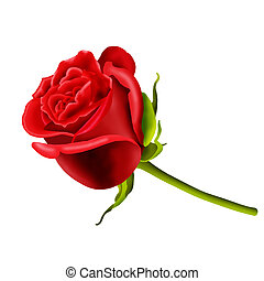 Single red rose isolated on a white background...