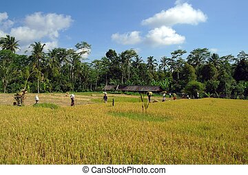 Padi - farmers working on paddy field