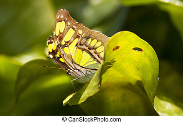 Lime and brown butterfly