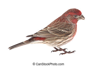 House Finch, Carpodacus mexicanus, isolated - Male house...