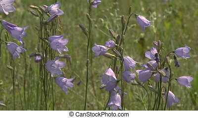 Blue Bell wildflowers