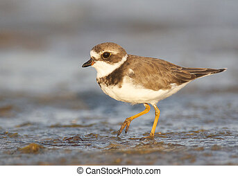 Semipalmated Plover, Charadrius semipalmatus, walking on...