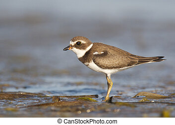 Semipalmated Plover, Charadrius semipalmatus, on dark gray...
