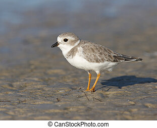 Endangered Piping Plover, Charadrius melodus, on dark gray...