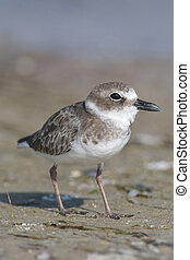 Wilsons Plover, Charadrius wilsonia, on dark gray or brown...
