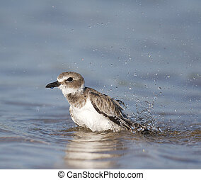 Wilsons Plover, Charadrius wilsonia, taking a bath in blue...