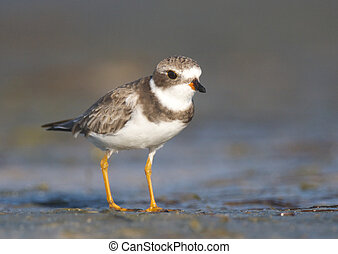 Semipalmated Plover, Charadrius semipalmatus, walking on...