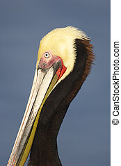 California Brown Pelican, Pelecanus occidentalis -...