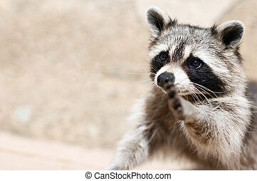 raccoon - a raccoon wishing to make true friends