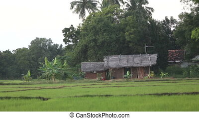 Rice field, house
