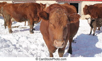 Brown cow in Winter.