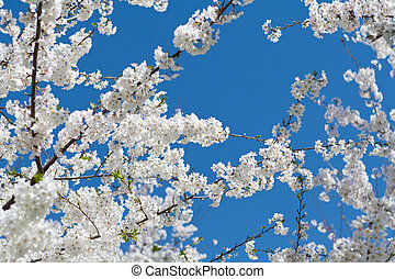 Japanese Cherry Tree Bloom Spring - White cherry blossoms in...