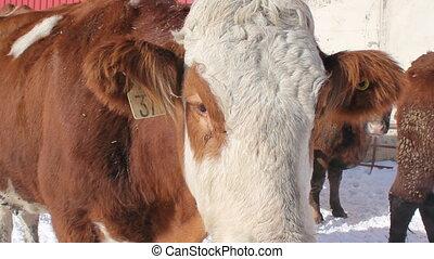 Cow portrait. Closeup.