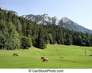 Pasture in the mountains - grazing cows on a pasture in the...
