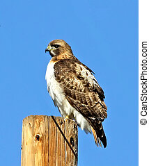 Red-tailed Hawk (Buteo jamaicensis) perched on power pole
