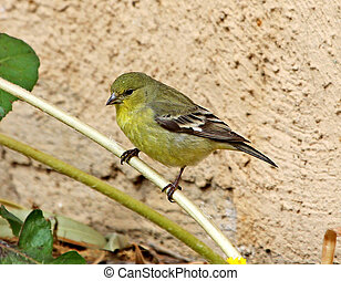 Lesser Goldfinch female - Female Lesser Goldfinch Spinus...