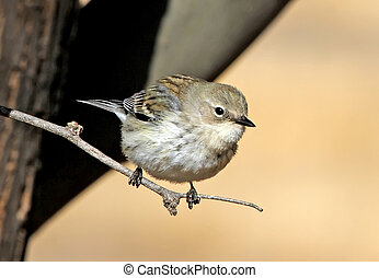 Yellow-rumped Warbler (Dendroica coronata) in winter