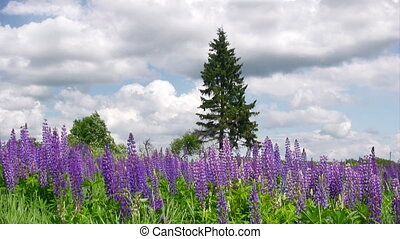 Blooming lupines - Meadow with lupine flowers and lonely...
