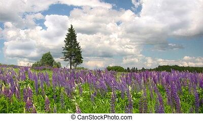 Blooming lupine flowers - Purple lupine flowers and lonely...