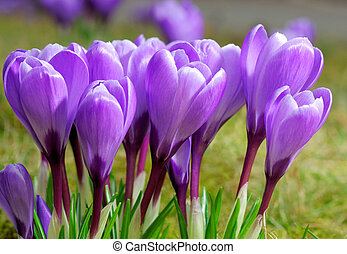 Group of purple crocuses - Outdoor shot of a group of purple...