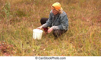 Cranberry harvesting season - Women gathered cranberries in...
