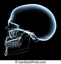 humano, cráneo, -, radiografía, lado, vista