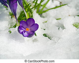 Purple Crocuses Poking Through the Snow in Springtime